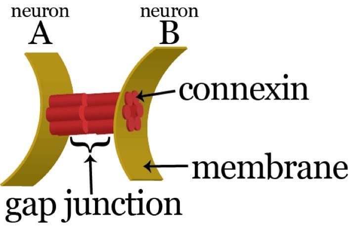 Connexin