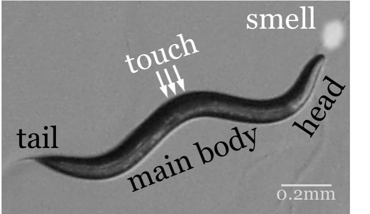 Worm body representation